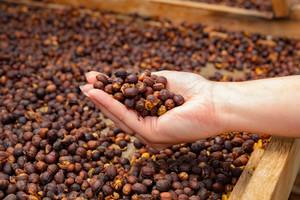 Female Employee Holding Organic Raw Coffee Beans