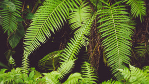 Fern Leaves in Rainforest, Ubud, Bali, Indonesia