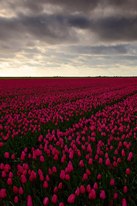 Field of red tulips in against a stormy looking sky, Holland tradition landscape, rainy day