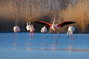 Flock of  Greater Flamingo, Phoenicopterus ruber, nice pink big bird, dancing in the water, animal in the nature habitat. Blue sky and clouds, Italy, Europe. Landscape with flamingos.