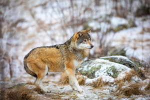 Focused beautiful wolf in the forest in early winter