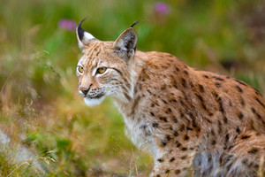 Focused eurasian lynx hunting in forest at summer