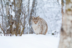 Focused lynx cat with wild eyes walking in the cold winter forest