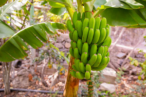 Fresh Green Organic Banana's Bunch at Farm