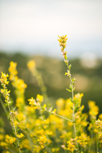 fresh nature wild meadow yellow spring flowers in field. Outdoor