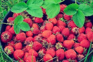 Fresh organic strawberry in the garden
