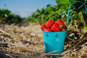 Fresh pick strawberries in a blue bucket on strawberry field