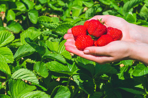 Fresh picked delicious strawberries held in hands over strawberry plants