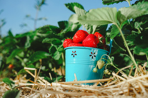 Fresh picked ripe delicious strawberries in a blue metall bucket near green foliage
