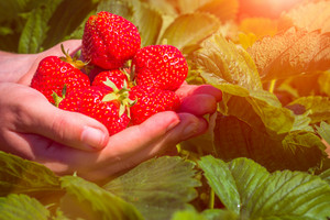 Fresh picked strawberries held over strawberry plants with sun flares