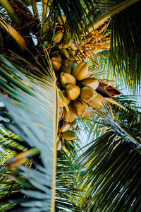 Fresh ripe coconut on the tree, coconut cluster on coconut tree. Palm tree branches