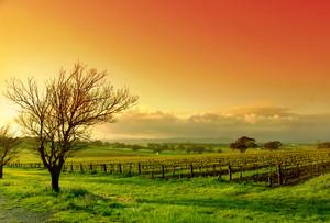 Fresh Vineyard Sunrise