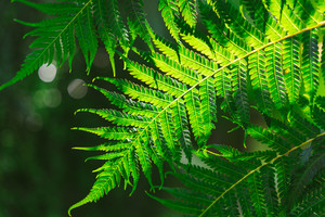 Freshness Green leaf of Fern on black background