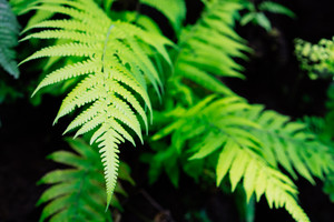 Freshness lush green fern leaves on black background