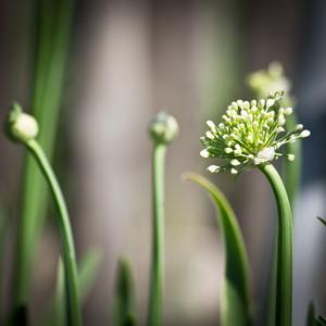 garden onion. Nature