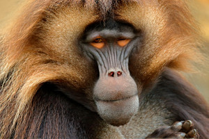 Gelada Baboon with open muzzle with tooths. Portrait of monkey from African mountain. Simien mountain with gelada monkey. Big monkey gelada from Ethiopia. Detail portrait of monkey. Wild Africa.