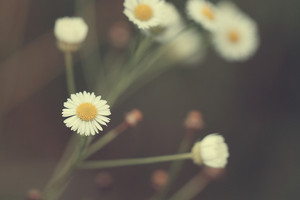 gentle romantic vintage daisy field in morning