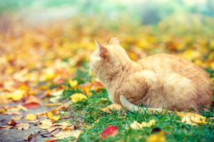 Ginger cat sitting outdoors on the fallen leaves in autumn in park