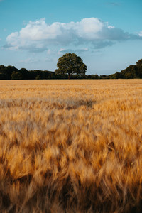 Gold Wheat flied with oak tree in the middle and blue sky with white clouds at sunset light, rural countryside