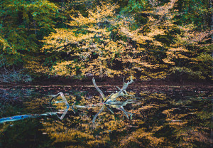 Golden autumn. Yellow colored trees reflected in a small pond
