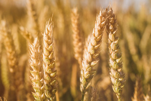 Golden ears of wheat on the field in sun light flares. Close up