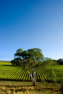 Gorgeous Vineyard with a large gum tree
