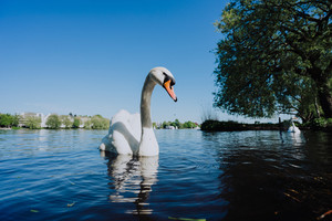 Grace swan swimming on Alster Lake in Hamburg on a sunny day