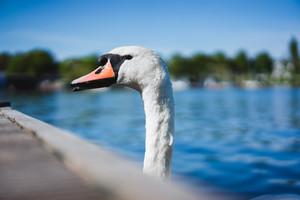 Grace white grace swans on Alster lake near the pier a sunny day. Hamburg, Germany