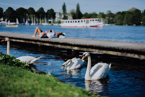 Grace white grace swans on Alster lake. Unrecognizable people chill on the pier in background on a sunny day. Hamburg