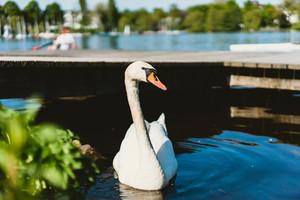 Grace white grace swans on Alster lakenear the pier a sunny day. Hamburg, Germany