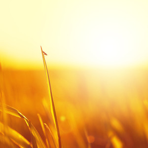 grass and insect on sunrise nature background