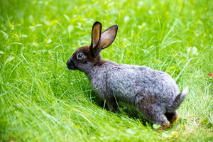 Gray rabbit walking on green grass in summer