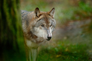 Gray wolf, Canis lupus, in the green leaves forest. Detail portrait of wolf in the forest. Wildlife scene from north of Europe. Beautiful wild animal hidden behind the tree trunk. Wolf in the nature.