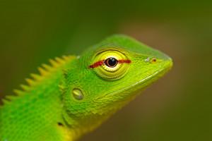Green Garden Lizard, Calotes calotes, detail eye portrait of exotic tropic animal in the green nature habitat, Sinharaja Forest, Sri Lanka