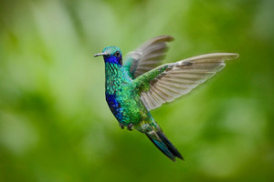 Green Violet-ear, Colibri thalassinus, green hummingbird flying in the nature tropic forest habitat, Savegre, Costa Rica