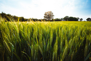 Green wheat field and an oak tree and blue sky on background