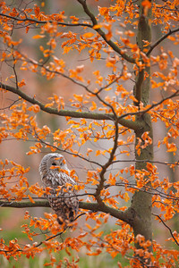 Grey Ural Owl, Strix uralensis, sitting on tree branch, at orange leaves oak autumn forest, bird in the nature habitat, France