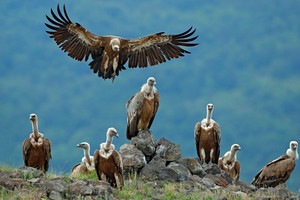 Griffon Vulture, Gyps fulvus, big birds of prey sitting on stone, rock mountain, nature habitat, Madzarovo, Bulgaria, Eastern Rhodopes. Wildlife scene, hide. Wildlife scene, Balkan. Group of vultures.