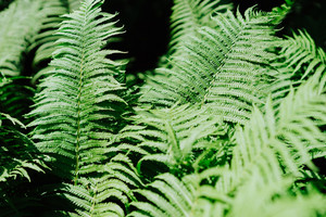 Group of green fern leaves in sun light in a forest on black background