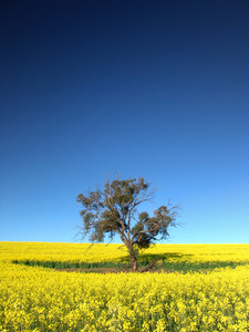 Gum Tree in Canola Field