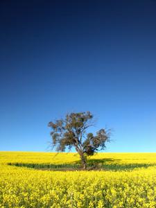Gum Tree in Canola Field