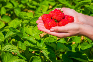 Handful fresh picked delicious strawberries held over strawberry plants
