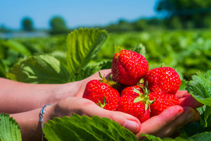Hands holding fresh collected strawberries on the field. Side shot with sky and trees on background