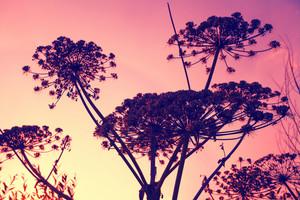 Hogweed plant against sunset sky