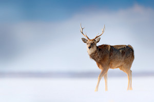 Hokkaido sika deer, Cervus nippon yesoensis, in the snow meadow, winter mountains and forest in the background, animal with antler in the nature habitat, winter scene, Hokkaido, wildlife nature, Japan