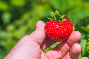 Holding a perfect fresh plucked strawberry over defocused green field