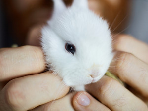 Human holding dwarf white baby-bunny