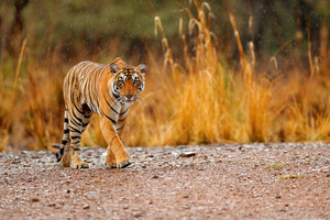Indian tiger female with first rain, wild animal in the nature habitat, Ranthambore, India. Big cat, endangered animal. End of dry season, beginning monsoon. Tiger walking on the gravel road.