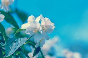 Jasmine Flower against blue sky