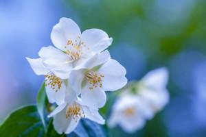 Jasmine flowers against sky